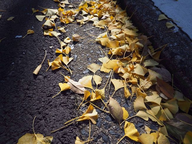 Kyoto Japan Sho-seien Higashihonganji Gingko Beauty In Nature Autumn Yellow Olympus PEN-F 京都 日本 渉成園 東本願寺 付近 秋 いちょう