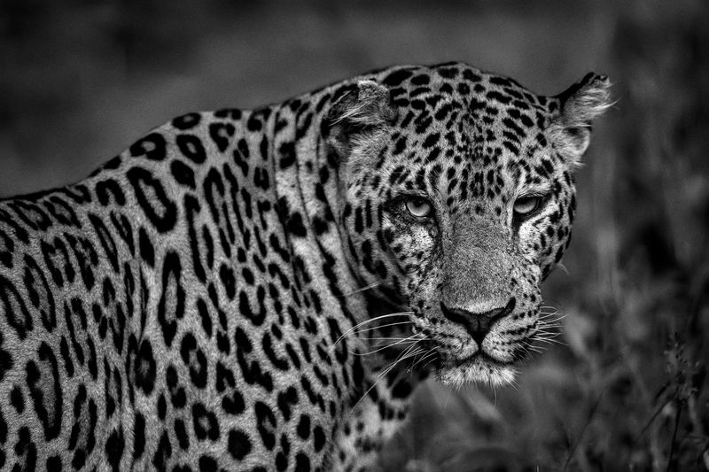 Leopard Portrait Animal Markings Animal Portrait Animal Themes Animal Wildlife Animals In The Wild Black And White Blackandwhite Close-up Day Focus On Foreground Indian Wildlife Leopard Mammal Nature No People One Animal Outdoors Panther Pardus Portrait Safari Animals Spots Wildlife Portraits EyeEm Ready