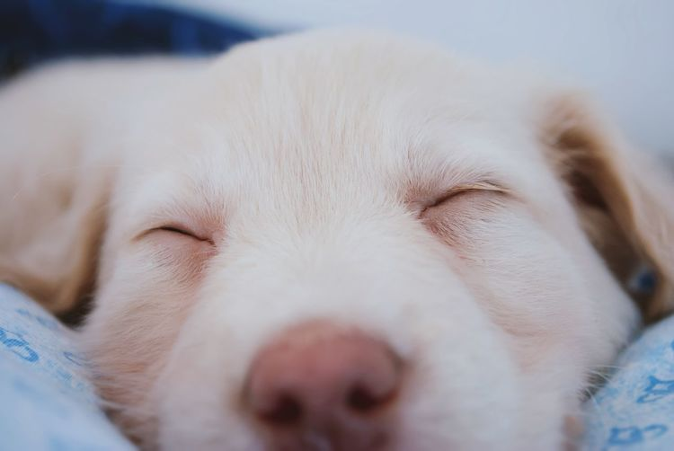 Close-Up Of Puppy Sleeping On Bed