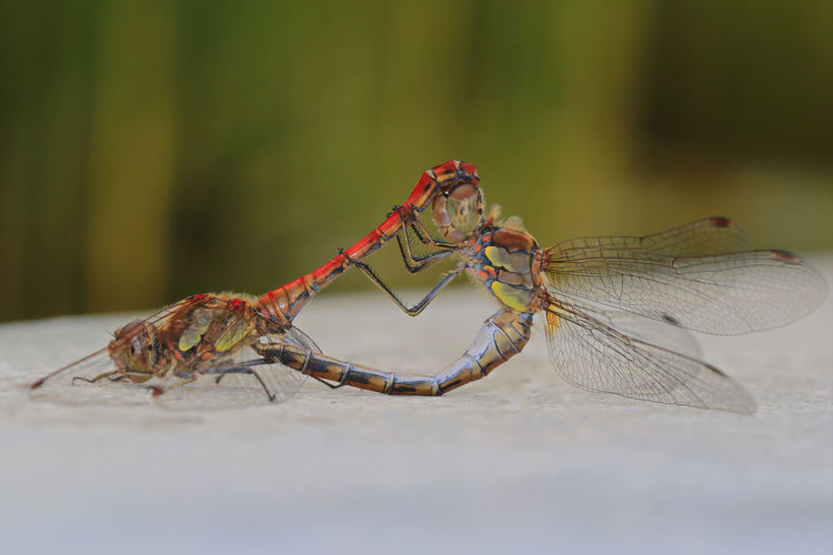 Copulation Animal Animal Themes Animal Wildlife Animal Wing Animals In The Wild Close-up Copulating Copulation Day Dragonflies Focus On Foreground Insect Invertebrate Nature No People One Animal Outdoors Selective Focus Side View Zoology