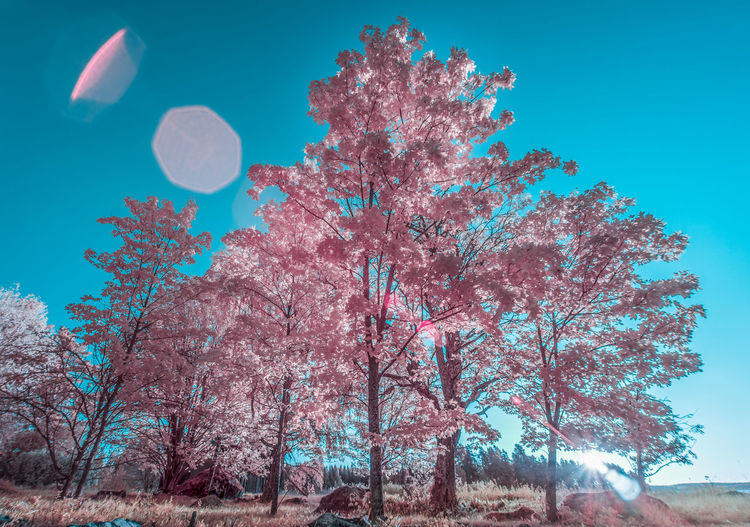 Low angle view of cherry tree against blue sky