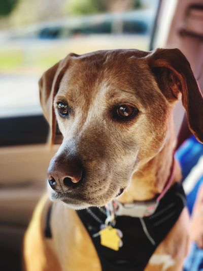 Ready to Ride EyeEm Selects Canine Dog One Animal Mammal Pets Domestic Animals Domestic Animal Body Part Day Collar People Portrait Focus On Foreground Close-up Vertebrate Brown Looking