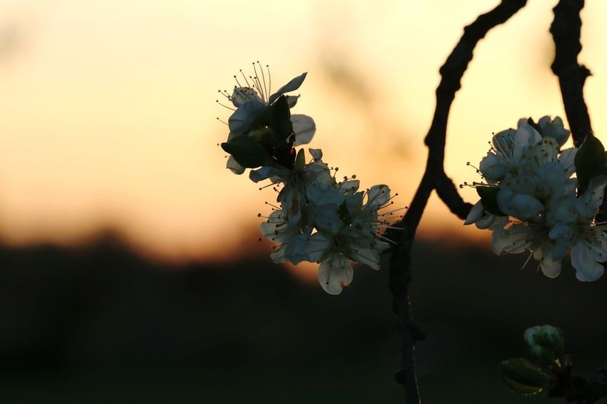 Outdoor Photography Hobbyphotography Canon55-250mmIS II 55mm Tree Flower Branch Leaf Springtime Tree Trunk Sunset Sunlight Natural Parkland Sky Fruit Tree Apple Blossom Botany Plant Life Blossom Cherry Tree Cherry Blossom