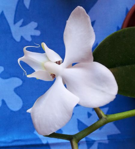 Blue Flower Head Flower Close-up Plant Beauty In NatureBeauty In Nature Orchid Freshness Plant Nature White Color Flowers Orchidées Indoors  Poetic Softness Nature Petal Orchid No People Freshness Day Fragility Indoors