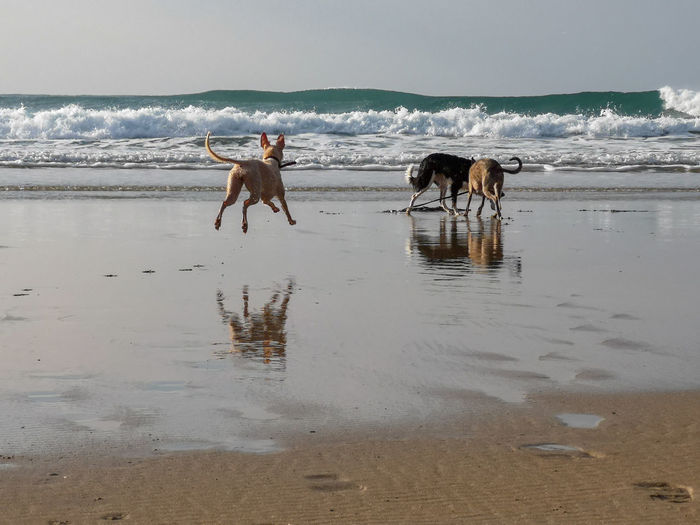 walks and springs along the beach, autumn weather doesn't stop us Shadows Whippet Bedlington Whippet Togetherness Out With The Dogs. Fun Dogs Playing On The Beach Cornish Coast Water Sea Beach Pets Dog Motion Wave Running Sky Border Collie Moments Of Happiness