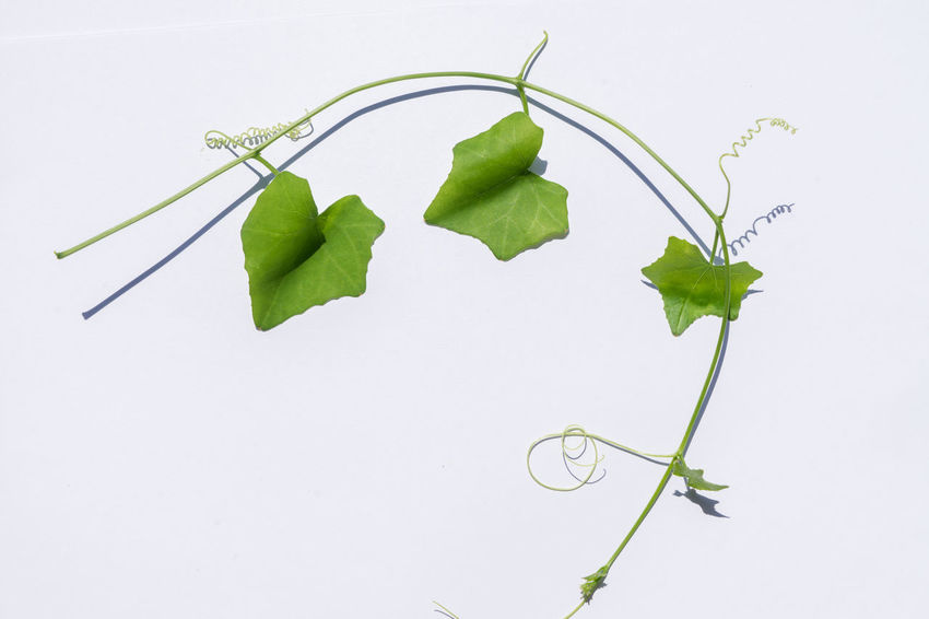 Lvy Gourd Coccinia Grandis Coccinia Leaf Plant Part White Background Plant Studio Shot Copy Space Nature Green Color Growth Indoors  No People Close-up Freshness Plant Stem Vulnerability  Fragility Beauty In Nature Cut Out Still Life Flower Leaves
