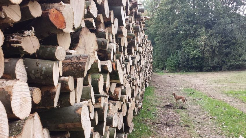 Trees wood dog Stack In A Row Lumber Industry WoodLand Repetition Park One Animal Dog Tree Trunk
