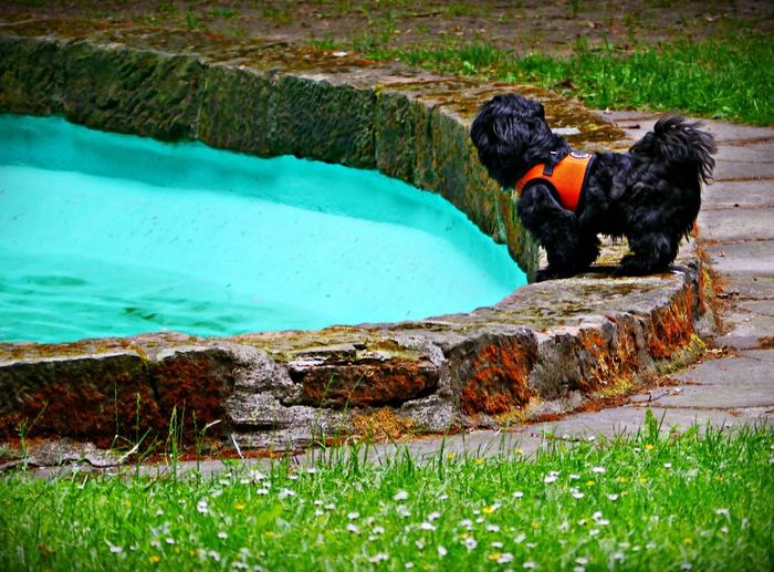 Baywatch 2.0 Shih Tzu Animal Animal Themes Black Color Canine Day Dog Domestic Domestic Animals Grass Green Color Mammal Nature No People One Animal Outdoors Pets Plant Pool Attendant Swimming Pool Vertebrate Water
