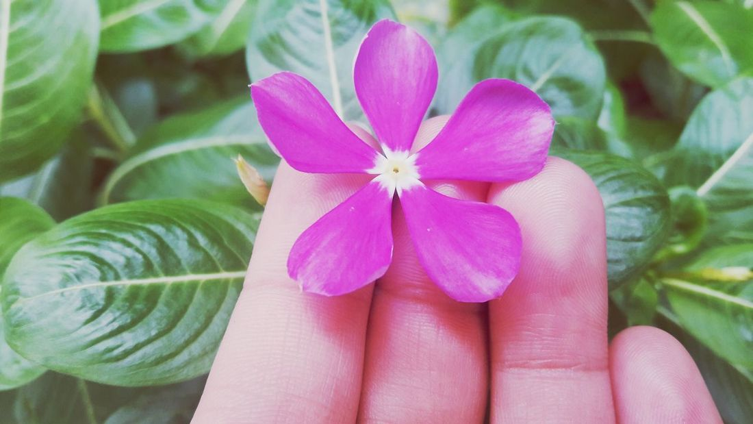 Flower Human Body Part Pink Color Beauty In Nature Nature Petal Human Hand Close-up Flower Head Fragility Freshness Lifestyles Day Outdoors People One Person Adult Adults Only