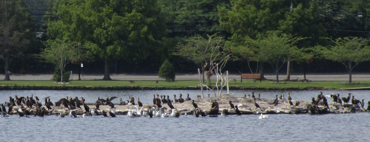 Animals In The Wild Large Group Of Animals Flock Of Birds Water Outdoors Beauty In Nature No People Surrounded By Trees