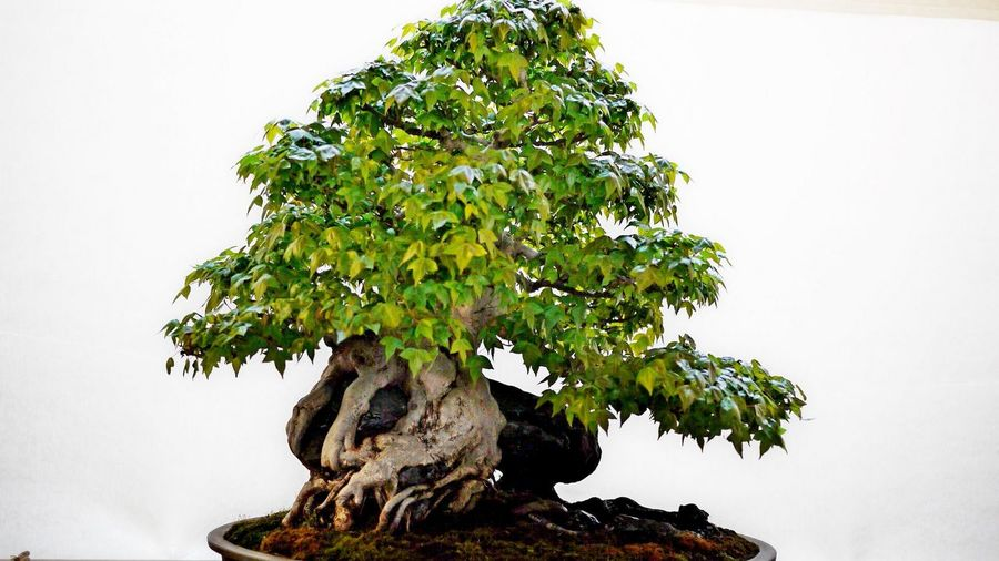 Bonzai Beauty In Nature Bonsai Tree Close-up Day Growth Nature No People Outdoors Statue Tree