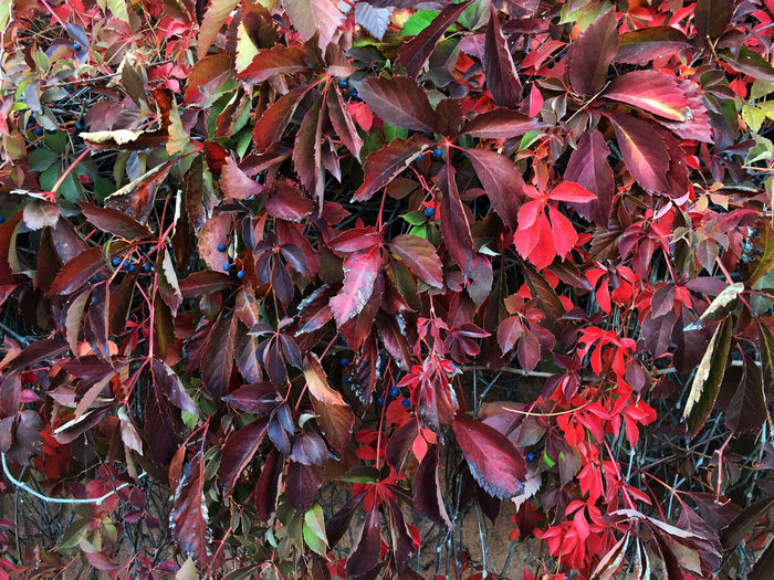 Automn Leaves Automne🍁🍂🍃 Botany Details Of Nature Fragility Leaf Leaves Like A Painting Magnifique Nature Red Leaves Virginiacreeper Ampelopsis