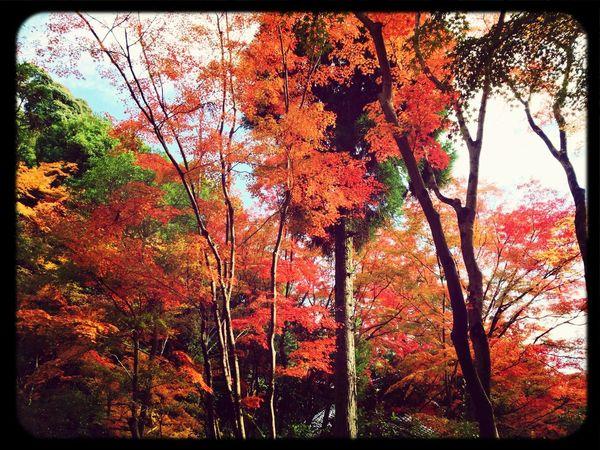 Red Leaves Trees Autumn Japanese Garden