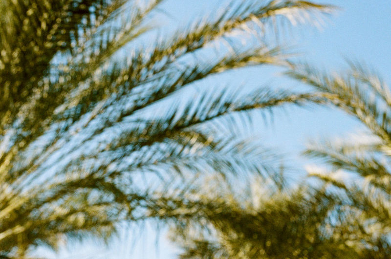 Palm Palm Tree Backgrounds Beauty In Nature Branch Clear Sky Close-up Coniferous Tree Day Film Photography Focus On Foreground Green Color Growth Leaf Low Angle View Nature No People Outdoors Palm Leaf Pine Tree Plant Selective Focus Sky Tranquility Tree
