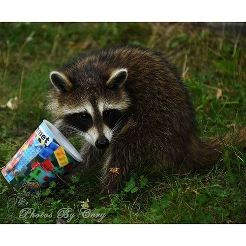 You want some? Animallover Wildlifephotography Raccoon Raccoons Wildlifepark Marvellegends Photooftheday Instadaily Instanature Natureshots Natureseeker Natureonly Natures_hub Natures_cuties Animallover Animal_captures Wildlife_perfection Luckywiththeanimals