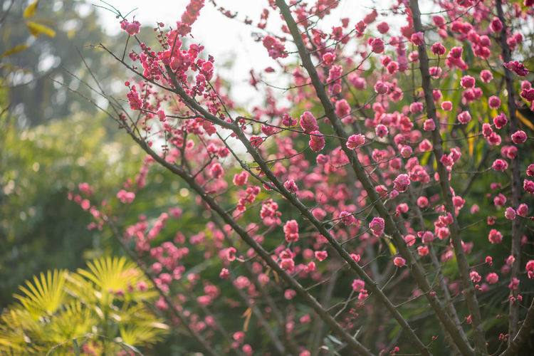 Peach blossom in spring Growth Plant Beauty In Nature Flowering Plant Freshness Flower Fragility Tree Vulnerability  Pink Color Day Close-up Selective Focus Nature Branch No People Focus On Foreground Red Outdoors Low Angle View Springtime Flower Head Spring Pink Flower Peach Blossom