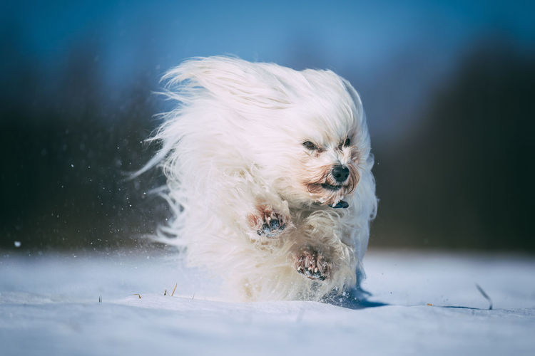 Animal Themes Close-up Cold Temperature Day Dog Domestic Animals Mammal Nature No People One Animal Outdoors Pets Snow White Color Winter