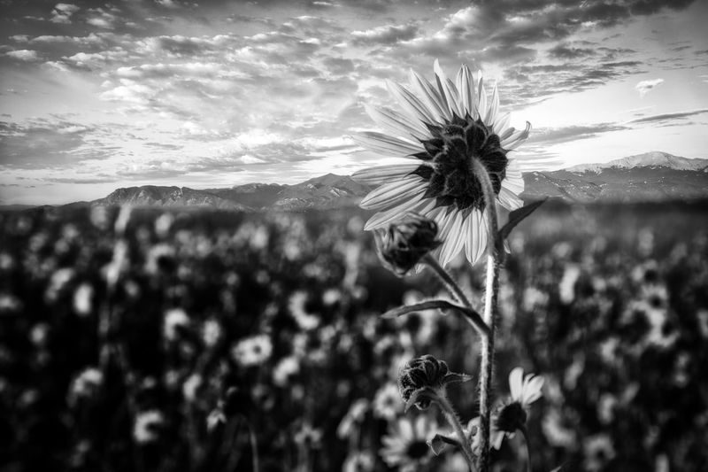 Sentinel black and white Mountains Black And White Plant Growth Nature Beauty In Nature Sky Fragility Vulnerability  Flower Flowering Plant No People Tranquility Close-up Cloud - Sky Land Focus On Foreground Freshness Plant Stem Scenics - Nature Day Field