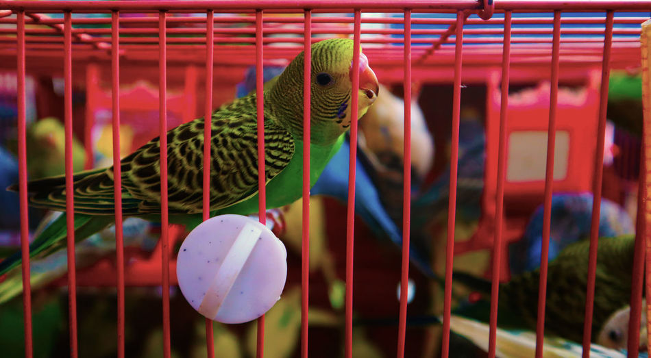 Animal Themes Cage Close-up Animal Bird Birdcage Parrot Indoors  EyeEmNewHere
