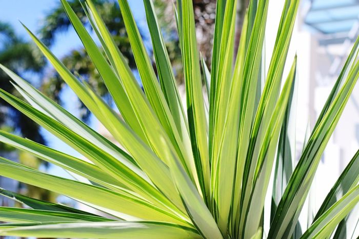 Long Leaves Growth Green Color Plant Leaf Plant Part Palm Leaf Beauty In Nature Green Natural Pattern Focus On Foreground Tropical Climate Sunlight Close-up Outdoors Nature No People Palm Tree Botany Tree Day