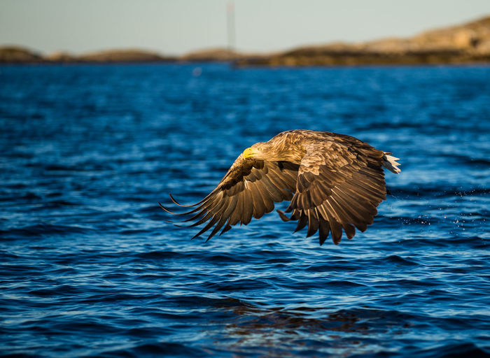 Eagle Animal Themes Animal Wildlife Animal Water One Animal Animals In The Wild Bird Flying Vertebrate Spread Wings Sea Nature No People Bird Of Prey Day Waterfront Outdoors Focus On Foreground Motion Eagle - Bird