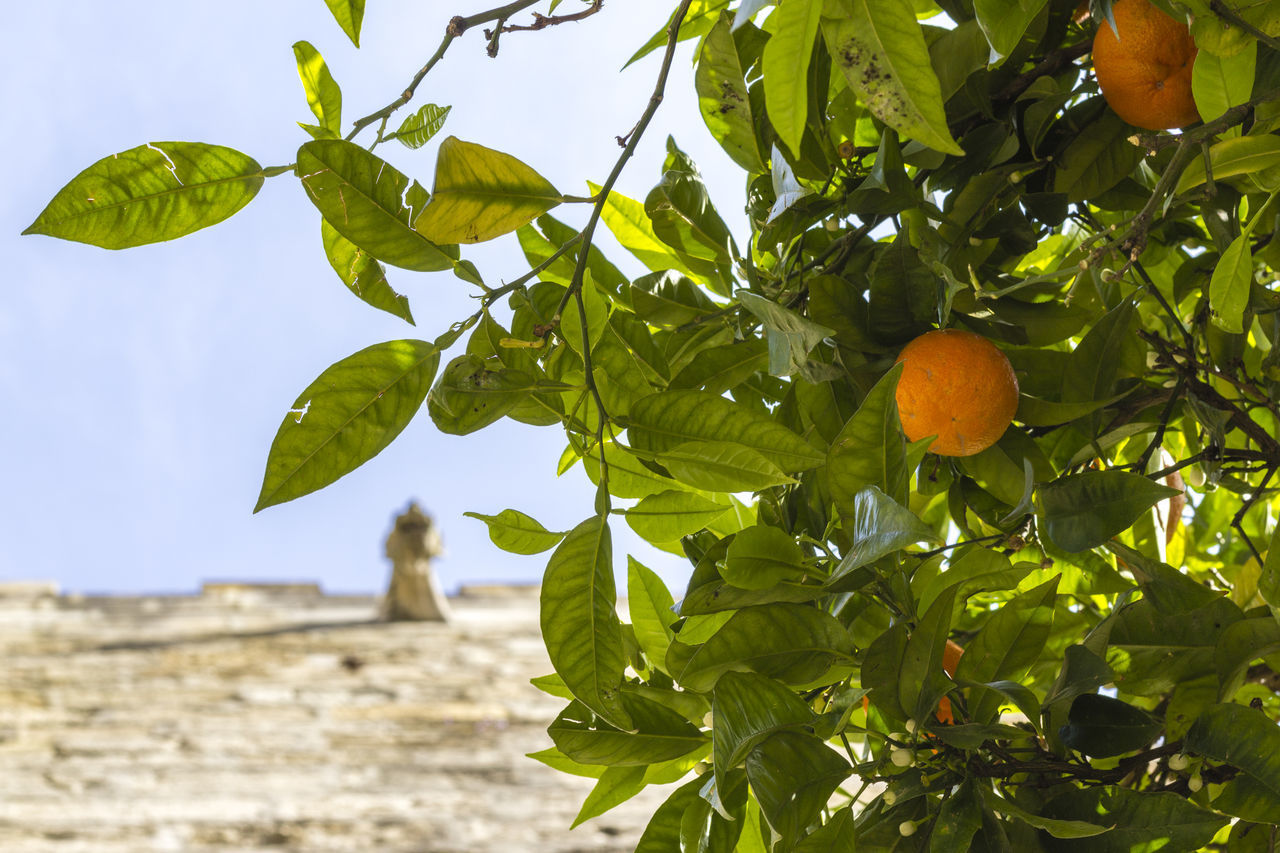 leaf, plant part, healthy eating, fruit, food and drink, food, tree, plant, growth, citrus fruit, nature, freshness, green color, fruit tree, wellbeing, no people, day, focus on foreground, outdoors, low angle view, orange, ripe