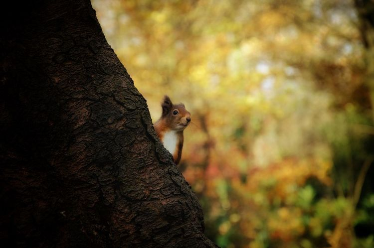 Peekaboo... Redsquirrel Animal Themes Animal Animals In The Wild Animal Wildlife One Animal Mammal Squirrel Focus On Foreground No People Day Tree Close-up Plant Part Plant Autumn Nature