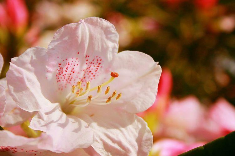 Showcase April Pink 春 Spring Flowers EyeEm Flower つつじ
