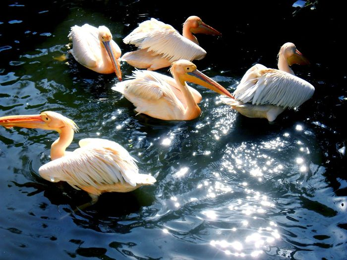 White Pelicans In Lake