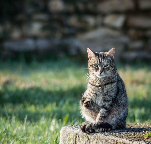 Chat a 3 pattes Chat Cat Félin
