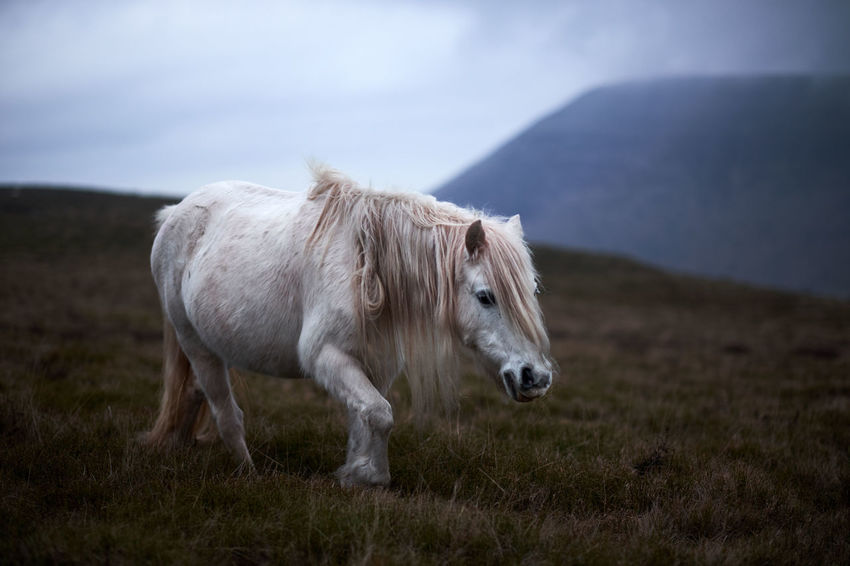 white wild horse in the mountains near of Llangorse lake Animal Themes Animals In The Wild Domestic Animals Farm Field Hair Hairy  Horizon Over Water Light Livestock Mammal Nature Nature No People One Animal Outdoors Travel White, Wild Wildlife