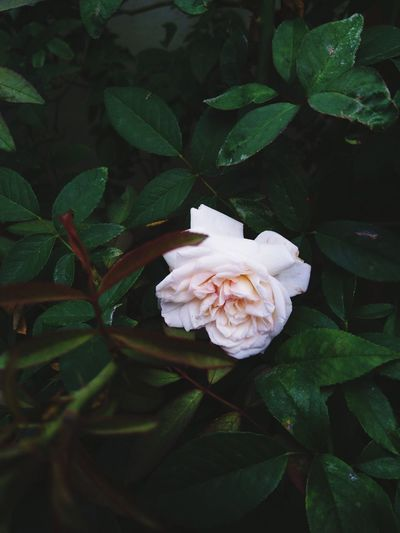 Close-up of white rose on plant