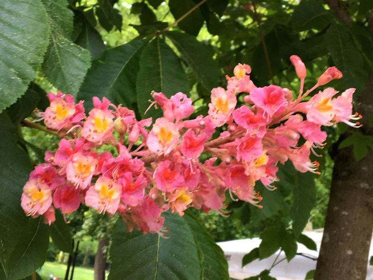 Blühende rote Kastanie, Beer Garden Plant Flowering Plant Flower Pink Color Beauty In Nature Freshness Vulnerability  Fragility Growth Close-up Plant Part Nature Outdoors Botany Flower Head
