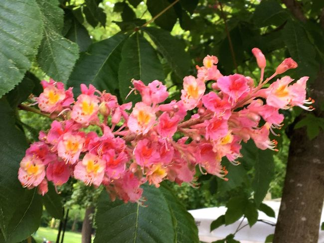 Rote Kastanie, Kastanienblüte, Biergarten, Pracht, schön, Kastanie Plant Flowering Plant Flower Pink Color Beauty In Nature Freshness Vulnerability  Fragility Growth Plant Part Flower Head Botany