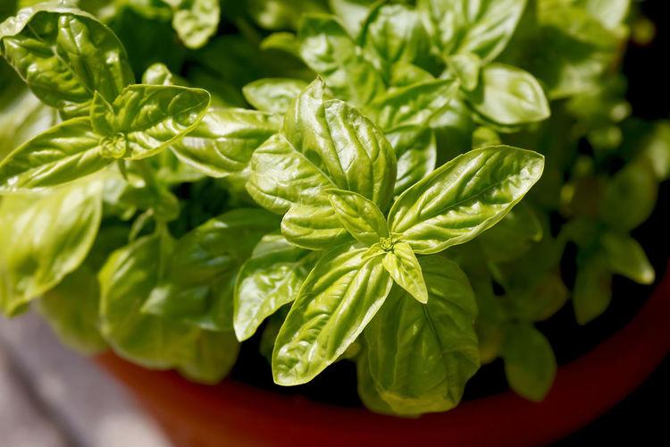 Basilikum,Germany Basilikumpflanze Küche Basilikum Close-up Day Food Freshness Green Color Kitchen Leaf Nature No People Plant
