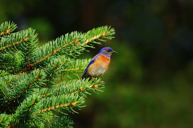 western bluebird Bluebird Blue Bird Animal Themes Bird Bird Photography Western Bluebird Park Bird Tree Perching Branch Forest Animal Themes Green Color Close-up Pine Tree Evergreen Tree