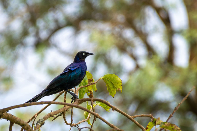 Greater blue-eared glossy starling resting on tree branches in masaka, uganda