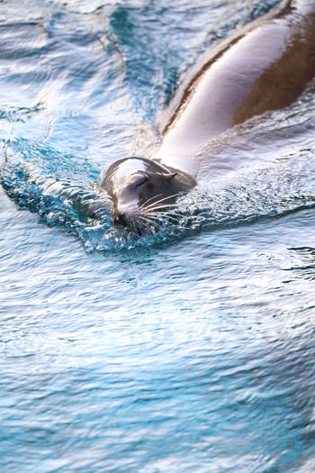 Animal Themes Animal Wildlife Animals In The Wild Aquatic Mammal Day Mammal Nature No People One Animal Outdoors Rippled Sea Sea Life Seal Swimming Water Waterfront