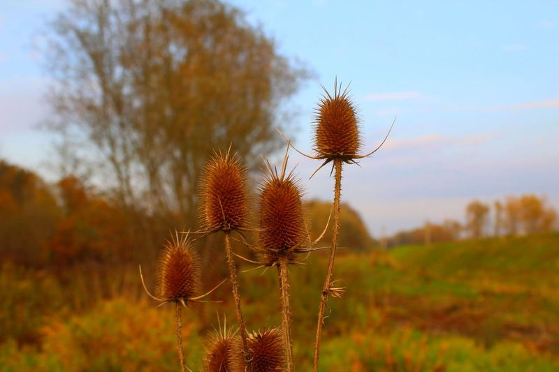 Burdocks posing :-) Beauty In Nature Close-up Day Dried Plant Field Flower Flower Head Focus On Foreground Growth Nature No People Outdoors Plant Sky Spiked