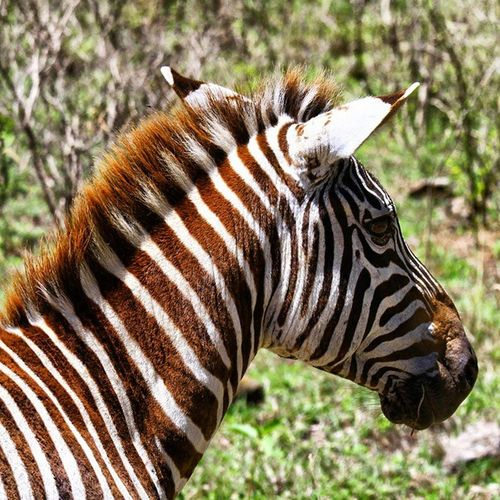 A young Zebra has a brown skin that would turn into black as they grow older. Apparently zebras have a black skin with white stripes and not the opposite. Kenya Africa LakeNakuru