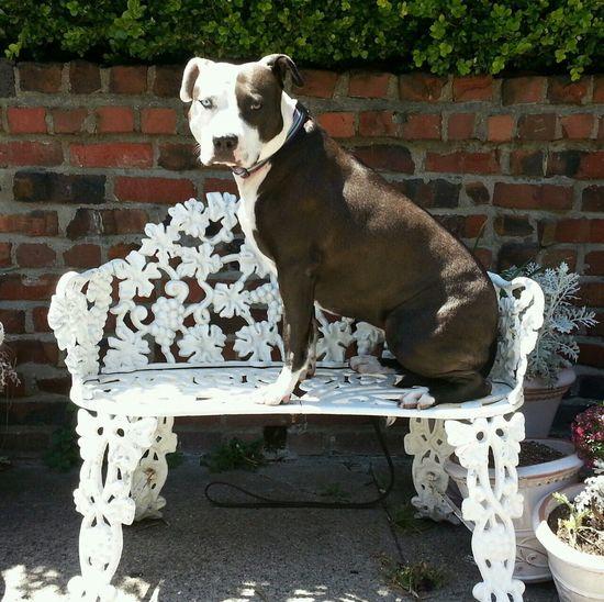 Pets Corner Spoon The Dog Bench Wrought Iron Staffy Pitbull Heterochromia Summer Dogs