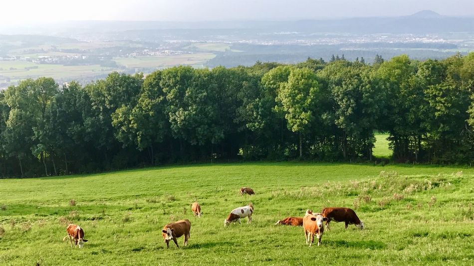 Cows on a pasture on the Swabian Alb Field Tree Nature Farm Livestock Green Color Landscape Grazing Agriculture Animal Themes Cattle Domestic Animals No People Cow Scenics Tranquil Scene Grass Day Rural Scene Beauty In Nature Swabian Alb Pasture