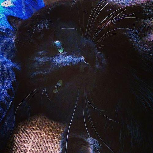QuiGon TheSparkesCats BLackCat Kitten Catsofinstagram MajesticBeast DarkDestroyer Instagramcats