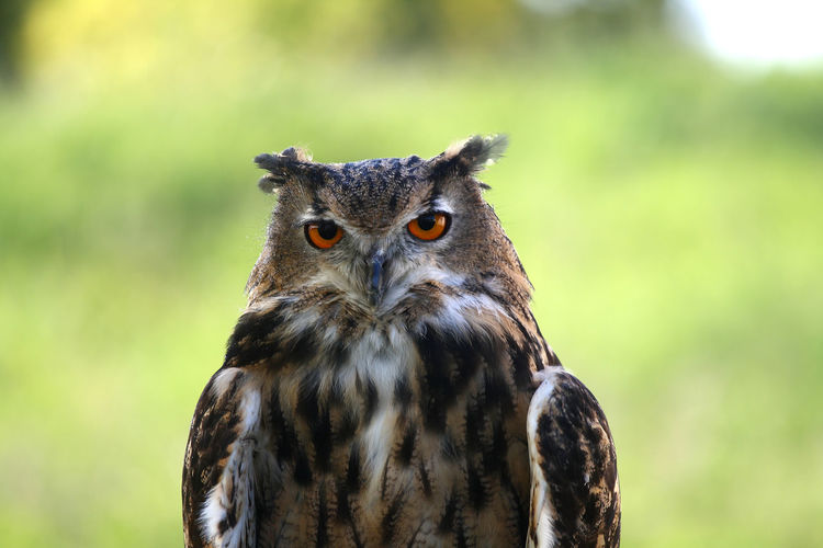 Close-up of brown owl looking at camera