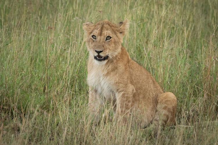 Portrait of lion cub sitting on grassy field