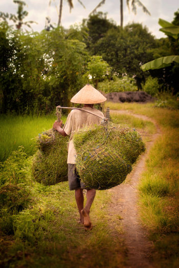 Balinese Field Worker. A rice field worker brings home some cuttings for the family pig in the Tabanan area of Bali, Indonesia. ASIA Bali INDONESIA Rice Paddy Worker Working Adult Agriculture Carrying Conical Hat Day Farm Farmer Full Length Grass Growth Hat Holding One Person Outdoors Real People Rice Field Rural Scene Tabanan Walking