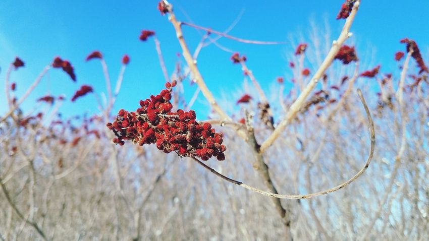 Red Plant Nature No People Outdoors Day Close-up Sky Winter Blue Beauty In Nature Branch Tree Fragility