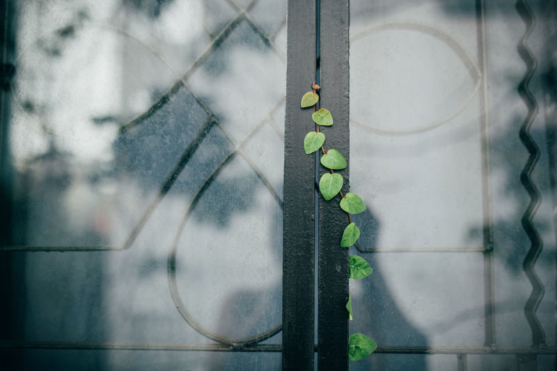 Close- Up Of Ivy Growing On Window