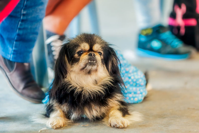 Pekingese Dog Portrait Resting After A Dog Competition Animal Animal Themes Canine Close-up Competition Dog Dogs Domestic Animals Examination Table Funny Healthcare And Medicine Indoors  Looking At Camera Mammal Medical Exam Obedient Occupation One Animal One Person Pekingese Pet Equipment Pets Portrait Surgery Vet