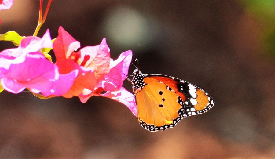 Butterfly shootout Surya's Futography